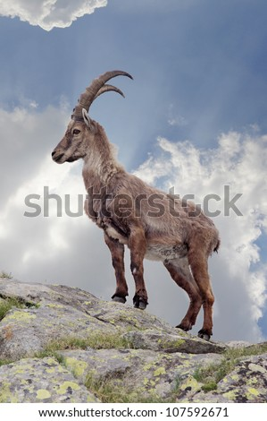 Steinbeck in the italian alps - stock photo