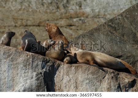 Stellar sea lion on rock - stock photo
