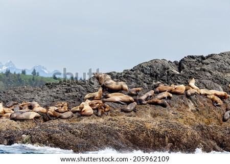 Stellar sea lion on rock and in the background Vancouver island mountains - stock photo