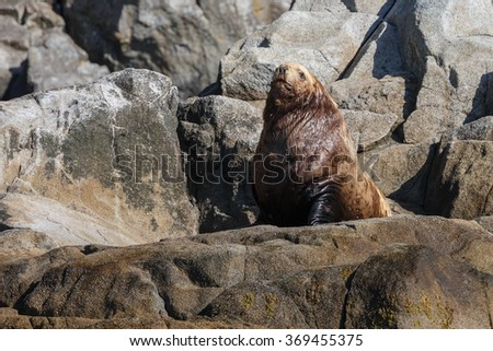 Stellar sea lion on rock at the Kenai Peninsula - stock photo