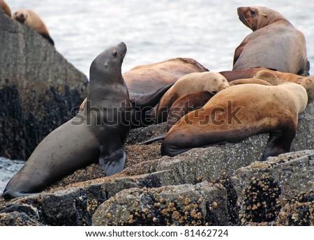 Stellar Sea Lions on the coast near Seward, Alaska - stock photo