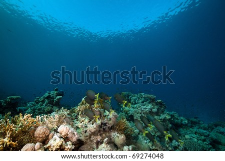 Stellate rabbitfish and tropical underwater life in the Red Sea. - stock photo