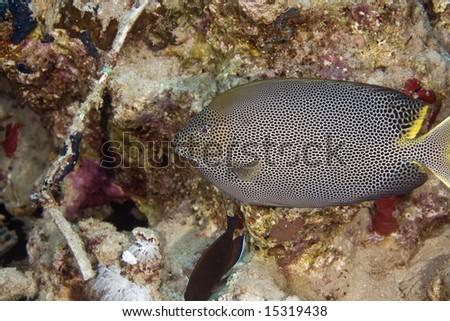 stellate rabbitfish (siganus stellatus laqueus) - stock photo