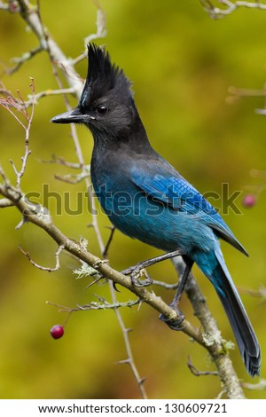 Steller's Jay (Cyanocitta stelleri).  A large, dark jay of evergreen forests in the mountainous West. - stock photo