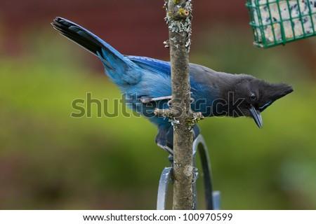 Steller's Jay (Cyanocitta stelleri) on a limb of a dead tree next to a bird feeder. - stock photo