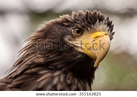 Steller's sea eagle close portrait
