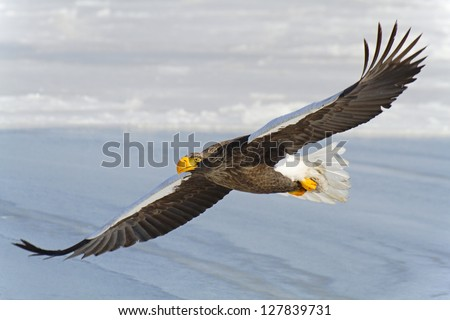 Steller's sea eagle flying over the sea. The largest bird of prey of the northern hemisphere.