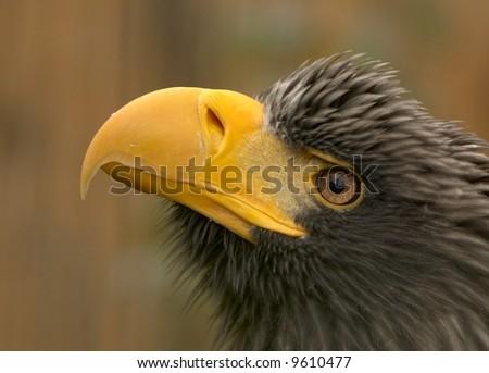 Steller´s sea-eagle (Haliaeetus pelagicus) - stock photo