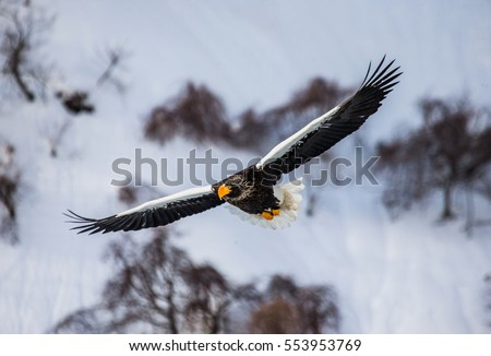 Steller's sea eagle in flight on background of snowy hills. Japan. Hakkaydo. Shiretoko Peninsula. Shiretoko National Park . An excellent illustration.