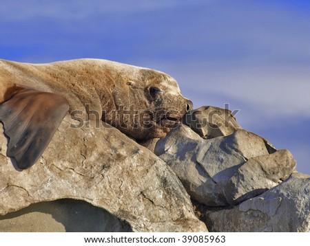 Steller Sea Lion snoozing in the British Columbia sunshine. - stock photo
