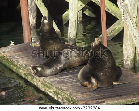 Steller Sea Lions (Eumetopias jubatus) lounge on a wharf in Newport, Oregon, on the Pacific Coast - stock photo