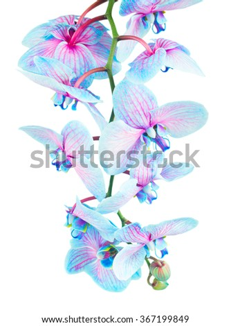 stem of fresh blue orchid flowers close up isolated on white background - stock photo