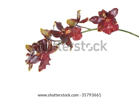 Stem of Red orchid isolated