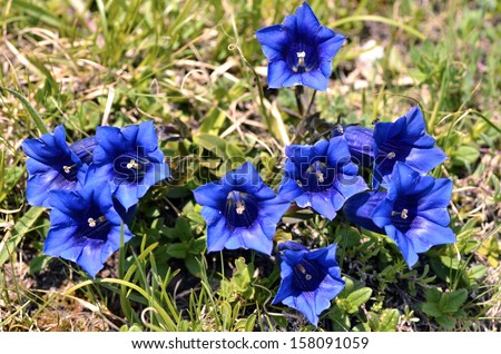 Stemless gentians (Gentiana acaulis) in the french Alps to La Plagne - stock photo