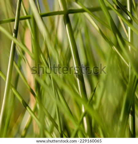 Stems of bulrush and grass plants near to a lake. - stock photo