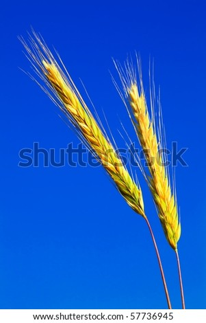 stems of the rye over the bright blue sky - stock photo