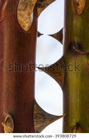 Stems of wild roses with thorns, the message is, do not touch .  - stock photo