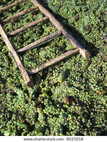 Stepladder laying above grapes after the harvest