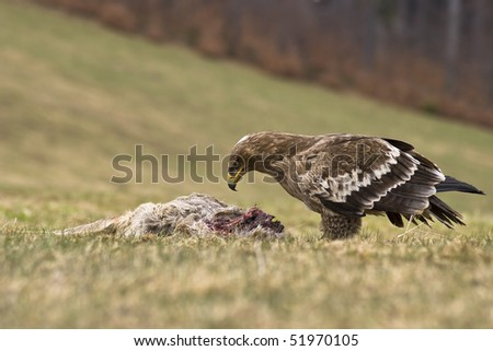 Steppe eagle (Aquila nipalensis) and prey - stock photo