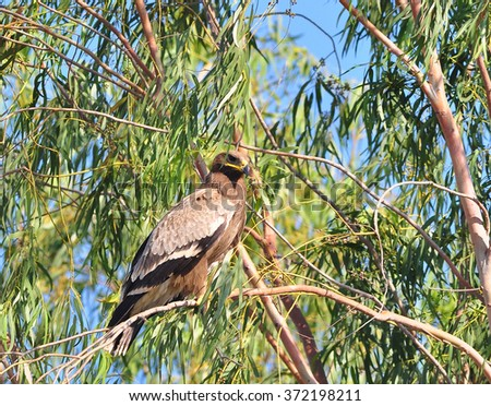 Steppe Eagle, Aquila nipalensis, bird of prey sitting in the Eucalyptus  forest in background, animal in the nature - stock photo