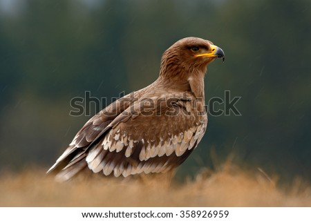 Steppe Eagle, Aquila nipalensis, bird of prey sitting in the grass on meadow, forest in background, animal in the nature habitat, Norway - stock photo