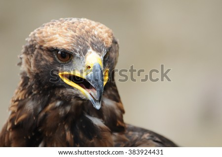 Steppe Eagle, Aquila nipalensis, detail of eagles head, eagle head JPG background. - stock photo