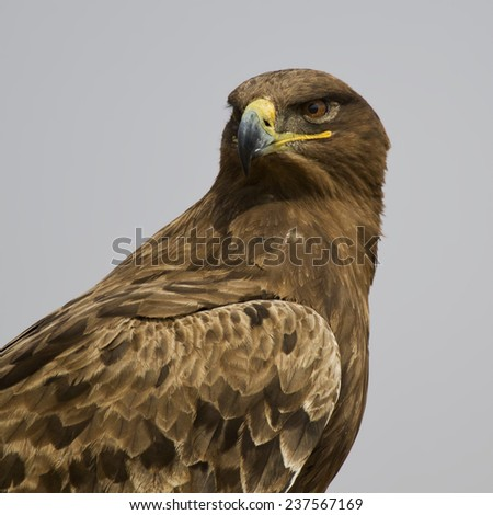 Steppe Eagle Closeup - stock photo