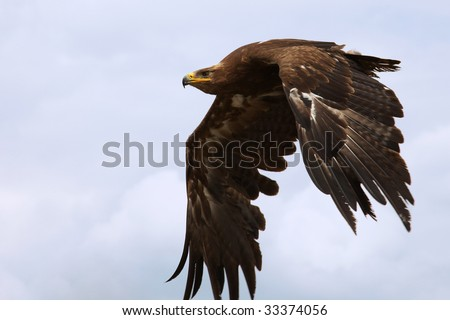 Steppe Eagle in flight in front of blue clouds - stock photo