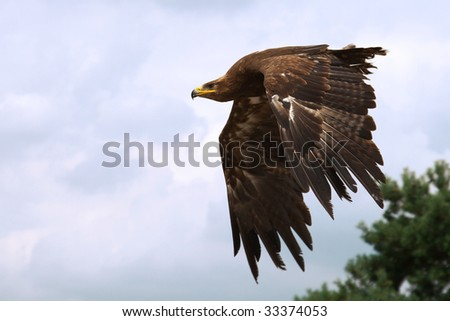 Steppe Eagle in flight in front of blue clouds and a tree in the background - stock photo