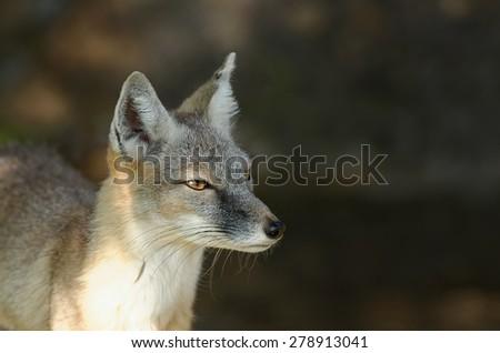 steppe fox - stock photo