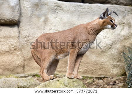 steppe lynx, Caracal, Caracal caracal, watching nearby - stock photo