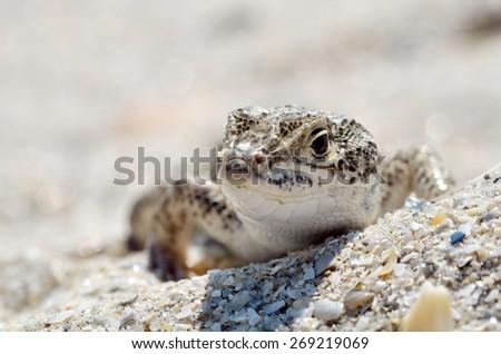 steppe racer lizard in natural habitat (Eremias arguta) - Black Sea shore - stock photo