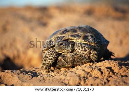 Steppe tortoise (Testudo (Agrionemys) horsfieldii)