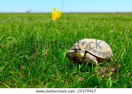 Steppe turtle on a green grass - stock photo