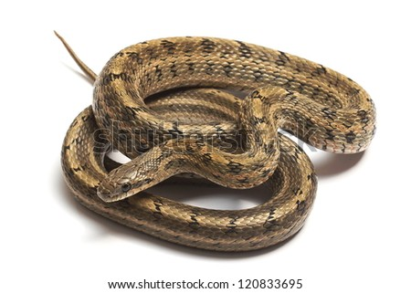 Steppes Ratsnakes (Elaphe dione) over white background - stock photo