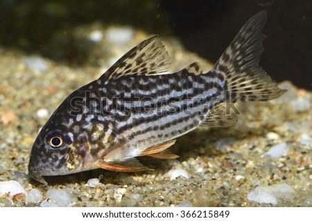 Sterba's corydoras (Corydoras sterbai). A freshwater aquarium catfish - stock photo