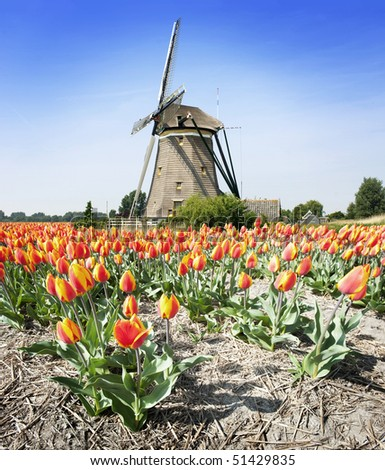 Stereotype Dutch landscape: an old windmill and a flower bed with tulips - stock photo