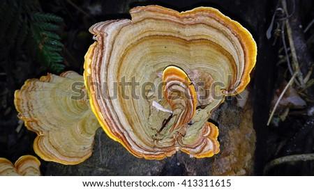 Stereum ostrea banded bracket fungi, rainforest, Australia - stock photo