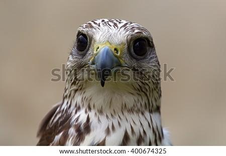 Stern look bird of prey - stock photo