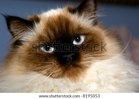 stern looking himalayan cat looking at viewer with big blue eyes against blue background - stock photo