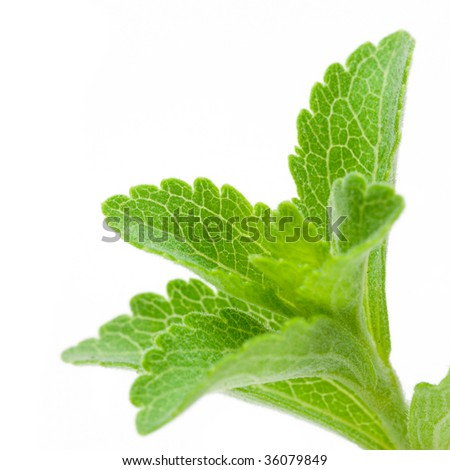 Stevia Rebaudiana - natural sweetener close up - stock photo