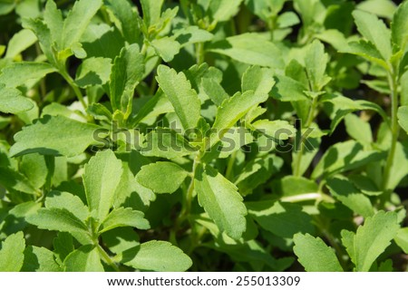 Stevia, Stevia rebaudiana Bertoni, Stevia tree, Stevia Rebaudiana, Stevia (genus) (Asteraceae) (Eupatorieae) and have Stevioside (Steviol glycosides) extracted from its leaves - stock photo