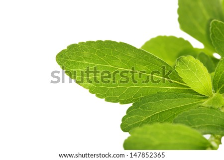 Stevia sweetleaf or sugarleaf isolated on white with copy space. Fresh healthy culinary herbs with copy space.