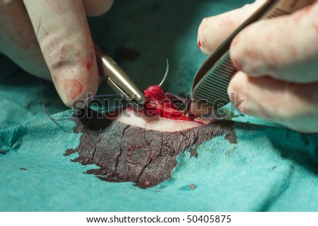 Stichting the skin of a ferret during surgery - stock photo