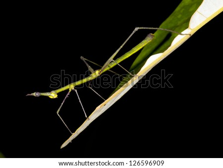 Stick grasshopper (family Proscopiidae) perched on the end of a leaf in the rainforest at night, Ecuador
