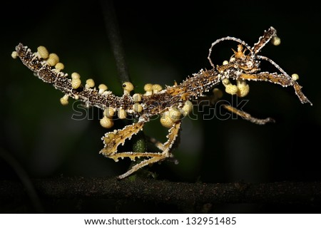 Stick Insect is attacked and parasitized by Cordyceps fungus in Madagascar. Spores enter nervous system, taking control and killing the animal. Fruiting bodies can be seen erupting from dead insect.