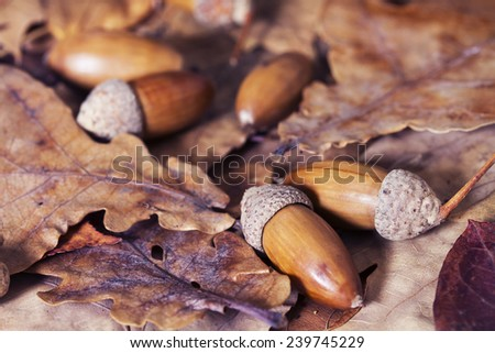 Still life of autumn leaves of oak, maple and acorns
