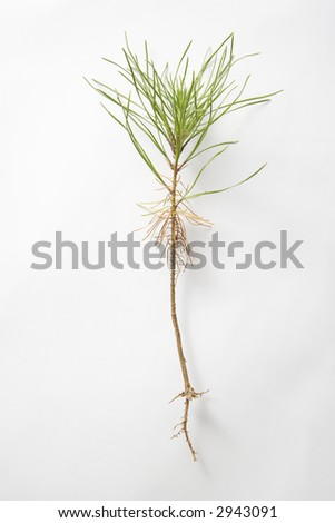 Still-life of dug up sapling in studio against white background.