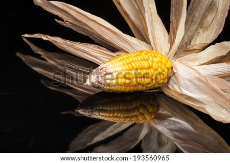 Still life of ripe corn cobs freshly harvest in autumn. Modern and uncluttered composition in studio on black background with reflections. - stock photo
