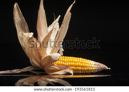 Still life of ripe corn cobs freshly harvest in autumn. Modern and uncluttered composition with copy space in studio on black background with reflections. - stock photo